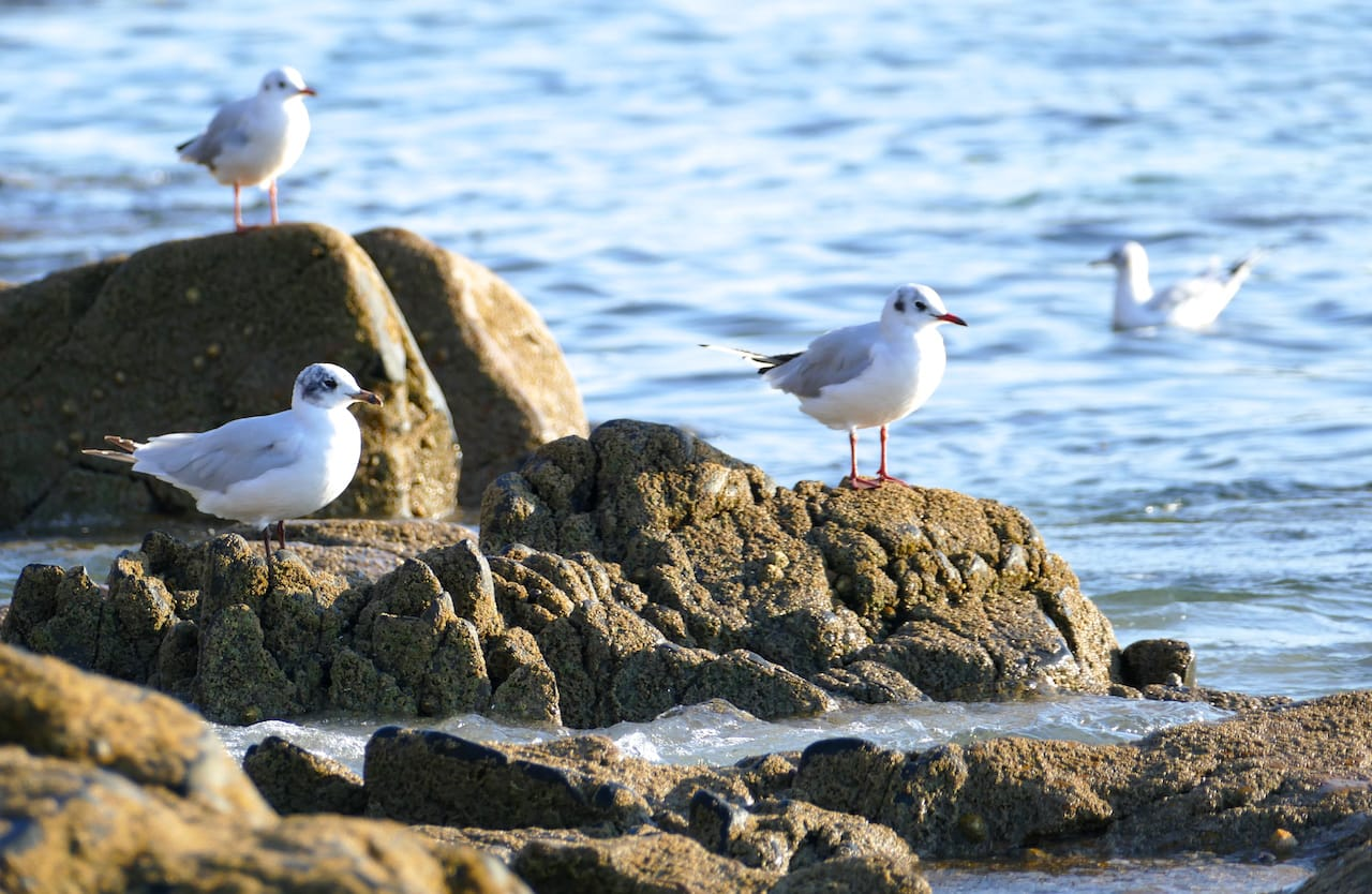 Black-headed gulls at the forefront of Bihit