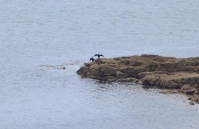 Photo : cormorants in the creek Pors Raden