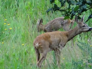 Young roe deer and its mother