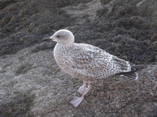 Young herring gull