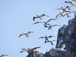 Gannets at nest